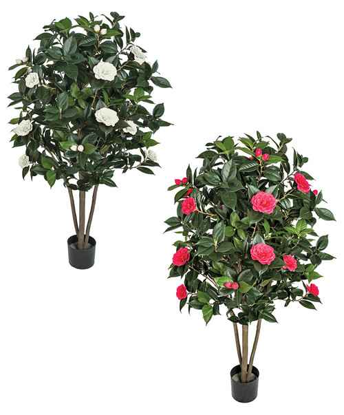 Camellia Tree - White or Beauty