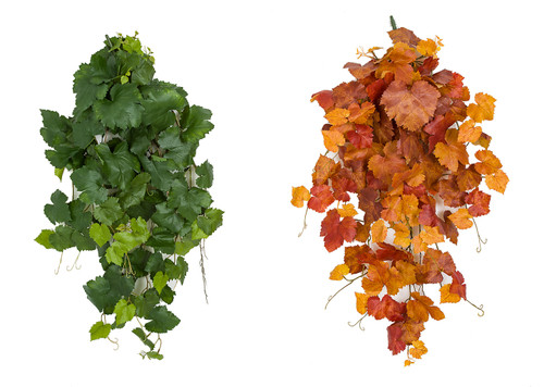 Green or Autumn Grape Ivy Bushes