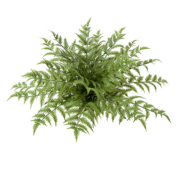 Ferns Plants