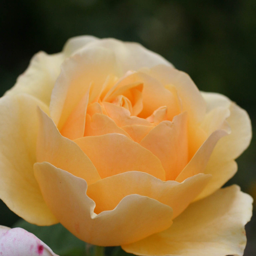 rose yellow