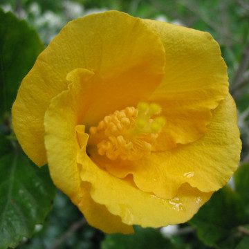 hibiscus yellow