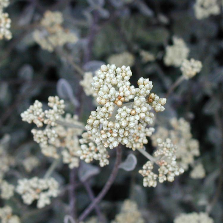 helichrysum_petiolatum