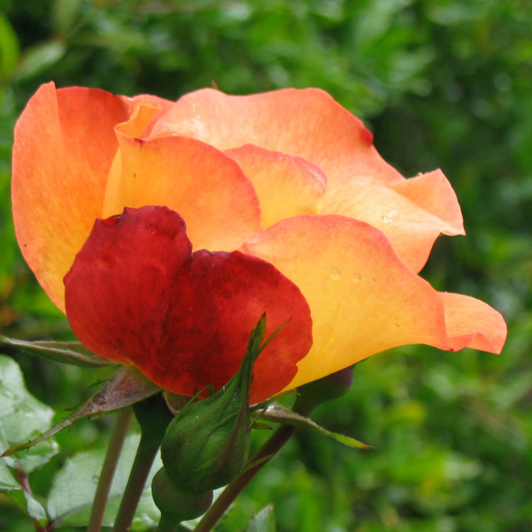Austrian Copper Rose