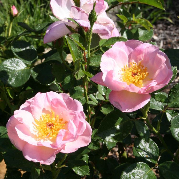 rose china pink