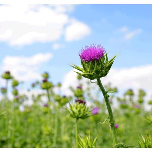 Hilton Herbs Hilton Herbs Milk Thistle Seed Tincture