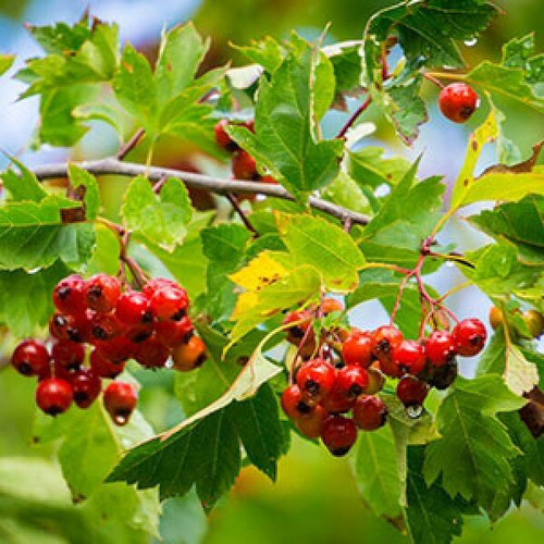 Hilton Herbs Hilton Herbs Hawthorn Berry Tincture