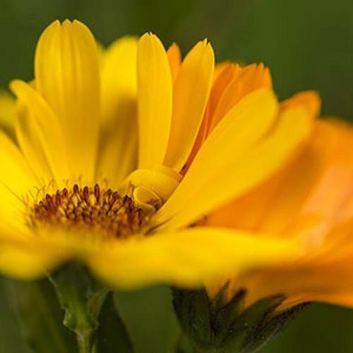 Hilton Herbs Hilton Herbs Marigold Calendula Flower Tincture