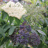 "THE ELDERFLOWER THAT THE ""Norse gods"" ENJOYED?"