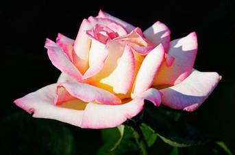 Incense - Blachernac Rose, 1oz.