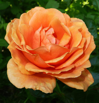 Incense - English Rose, 1 oz.