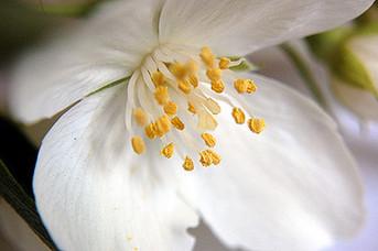 Incense - Jasmine, 1 oz.