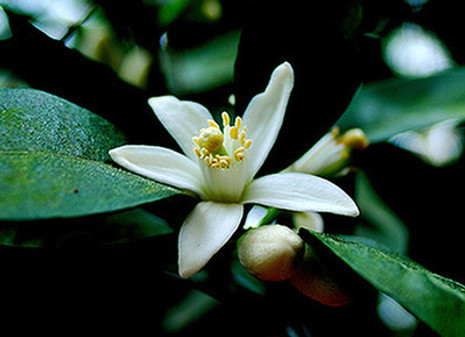 Incense - Orange Blossom, 1 oz.