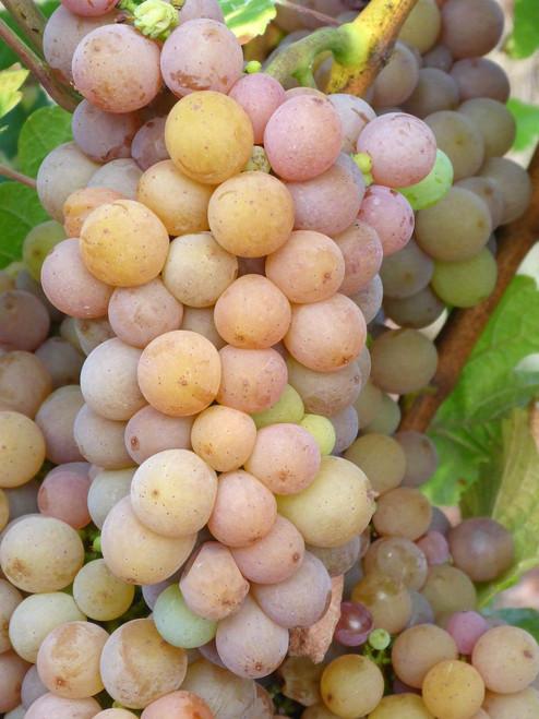 Vigne del Sole Pinot Grigio