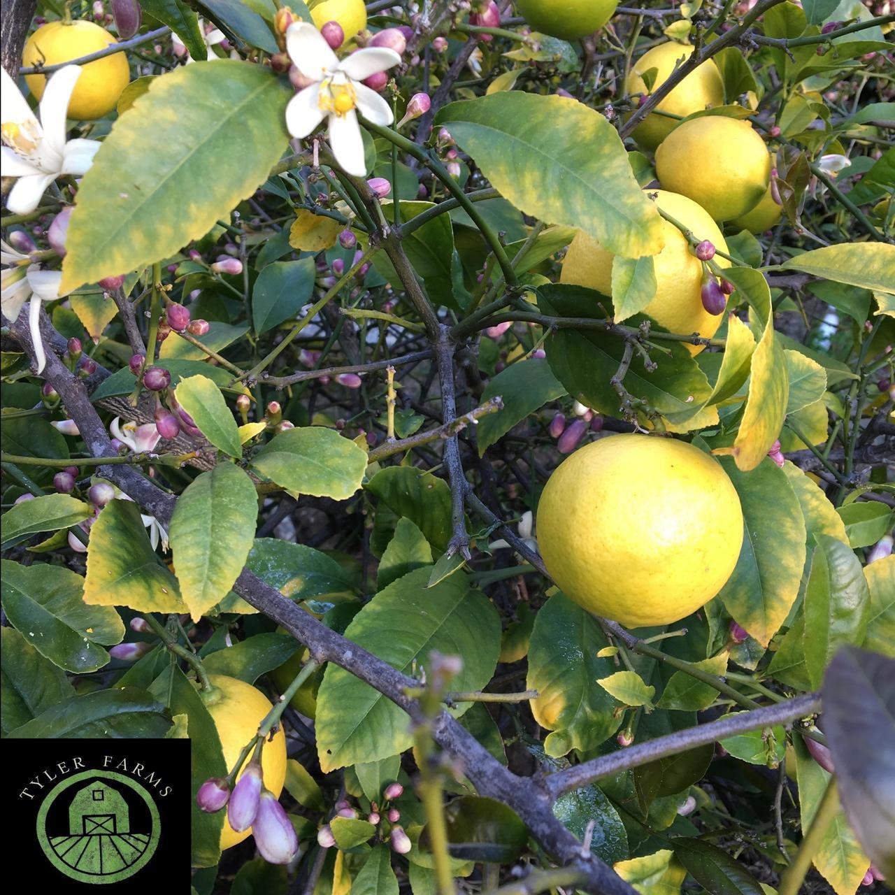 meyer lemon seeds tyler farms. Black Bedroom Furniture Sets. Home Design Ideas