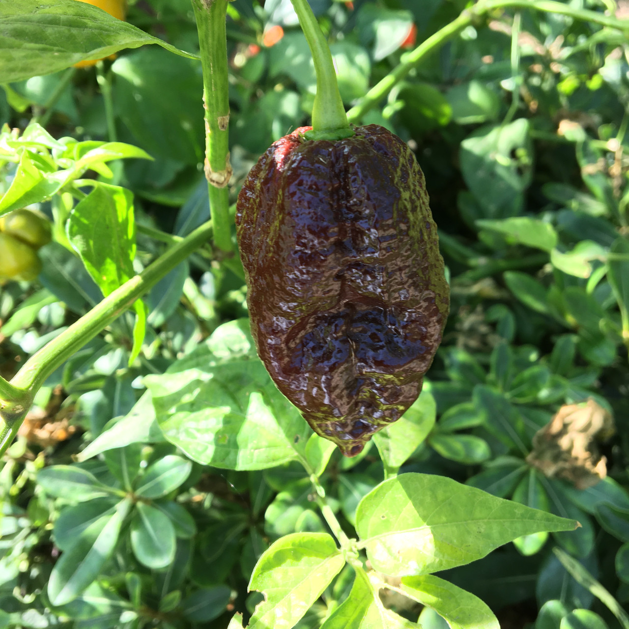 Chocolate Bhutlah Pepper Seeds