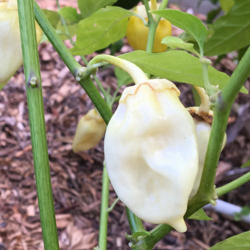 7 Pot Bubblegum Pepper Seeds | Tyler Farms