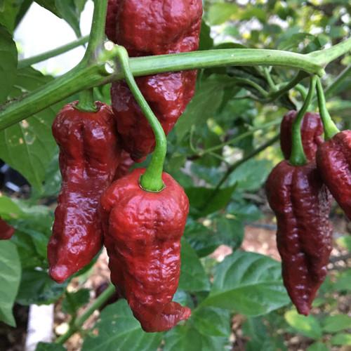 Chocolate Drop Hot Pepper 15 Seeds Brain Strain x Chocolate Ghost pepper Rare!