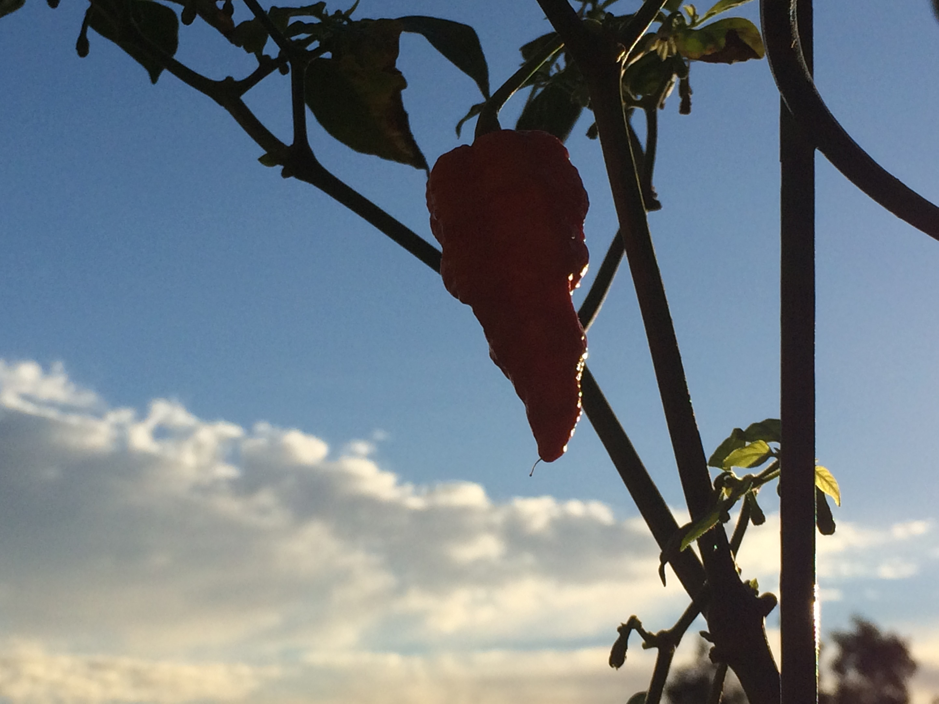 tyler-farms-ghost-pepper.jpg