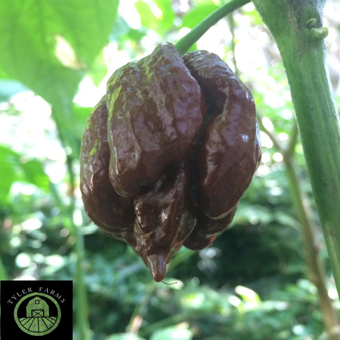 25 Premium Seeds From Chocolate Scorpion Moruga Hot Pepper-R 078