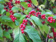 Top Selling Shrubs- Crepe Myrtle, Hazel Alder, Carolina Rose and Viburnums Tops The List