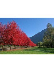 ​The Advantages Of Planting Maple Trees