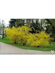​Forsythia varieties