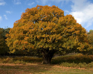 The many attributes of American Beech Trees