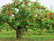 Fruit Trees Are A Homeowner's Favorite Tree