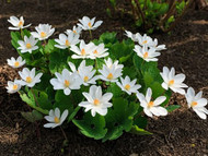 ​Physical Attributes of the Blood Root Plant