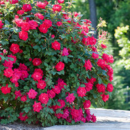 Shrubs- A Perfect Addition in Landscaping