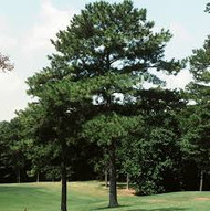 Loblolly Pine Trees
