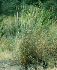 The Many Attributes Of Virginia Wild Rye