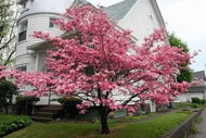 ​Pink Princess Dogwood Is An Excellent Choice To Add To One's Landscape