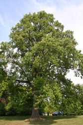 ​Fastest Growing Shade Trees