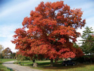 The Advantages Of Planting Scarlet Red Maple Trees