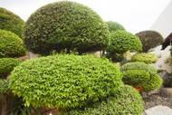 ​Privet Evergreen Hedges