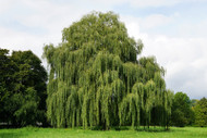 ​Weeping Willow
