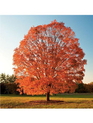 ​What You Need To Know About Sugar Maple Trees
