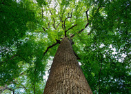 ​Tulip Poplar Trees are Fast Growing Shade Trees