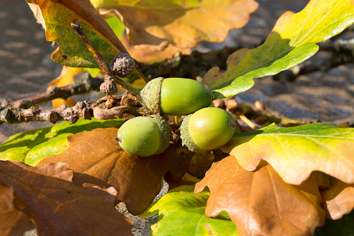 acorns-and-oak-leaves.jpg