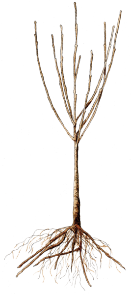 bare-root-tree.png
