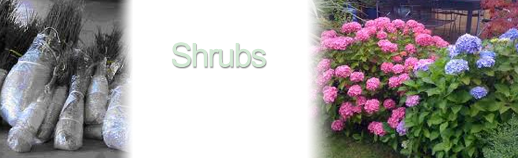 bareroot shrubs