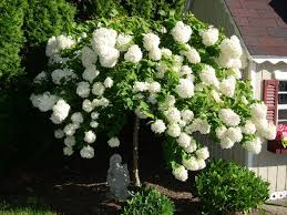 Image result for pee gee hydrangea