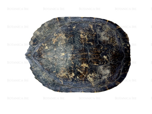 """Turtle Shell 6"""""""