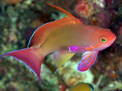 Squamipinnis Male Fiji