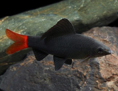 Redtail Shark