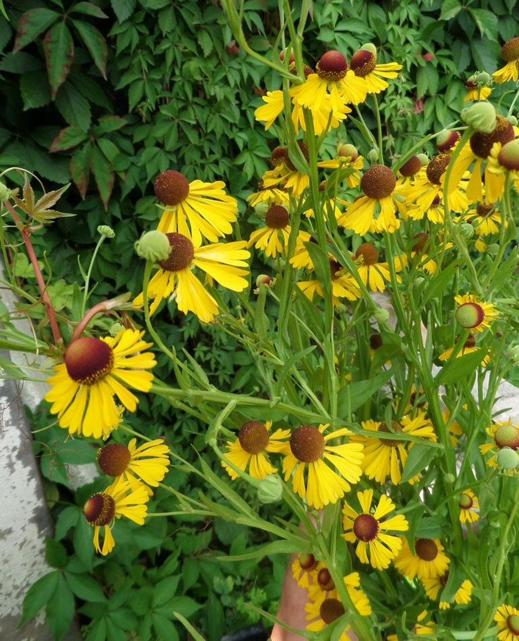 Purple Headed Sneezeweed Helenium Flexuosum