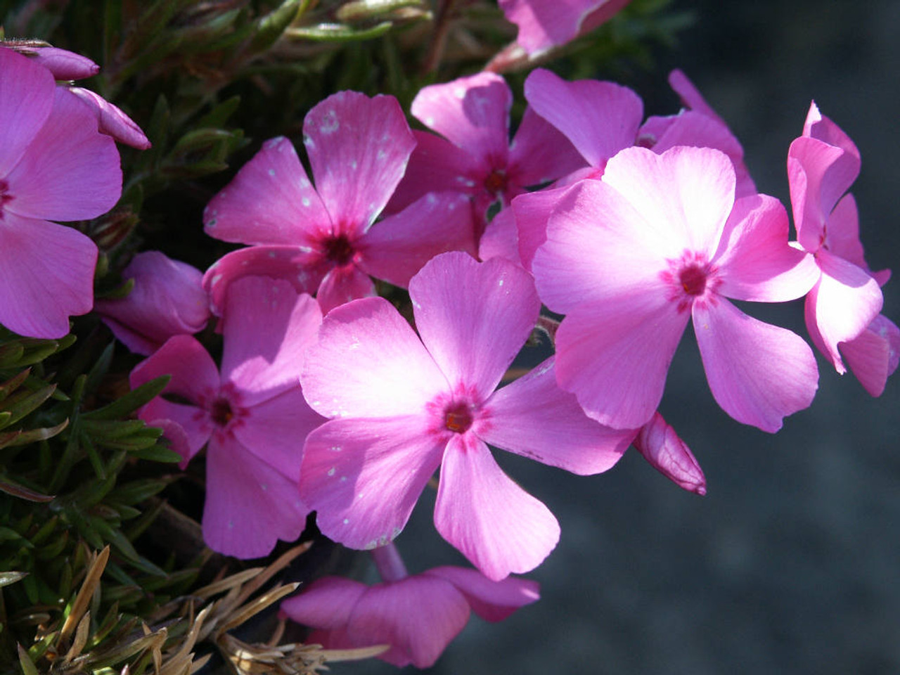 Creeping Phlox Mc Daniel S Cushion Phlox Subulata Mc Daniel S