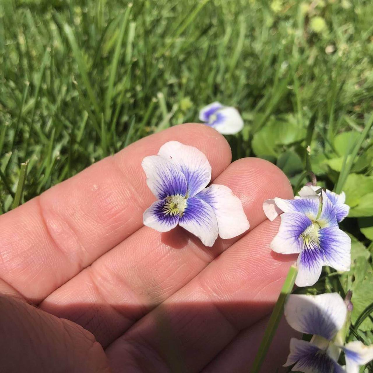 Confederate Violet Viola Sororia Var Priceana