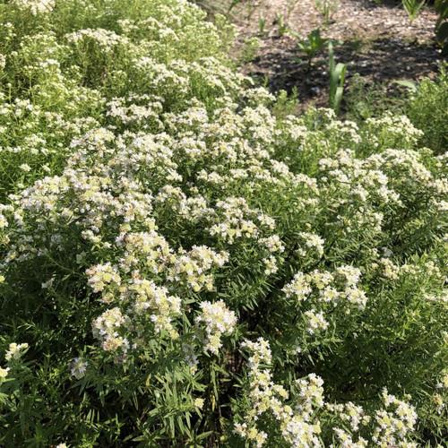 Pycnanthemum virginianum - Mountain mint - best pollinator plant ever